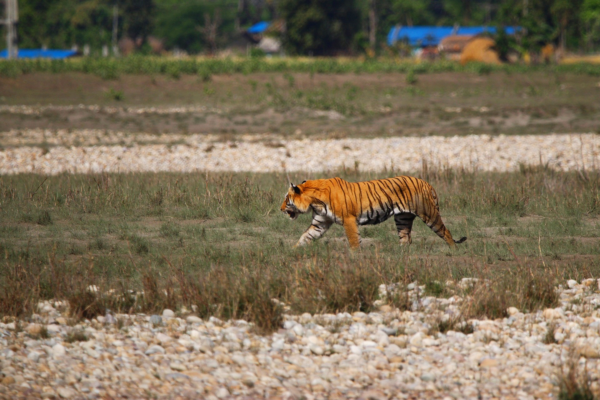 A Bengal tiger walks past a village on the outskirts of Bardia National Park, Nepal, in March 2020. Water shortages in the park have been proposed as a factor driving increased conflict between tigers and the people who live around the park (Image: Bhawany Kandel)
