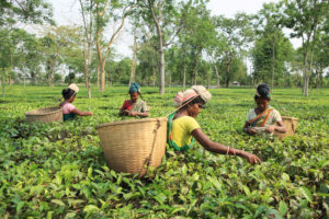 Workers pick tea leaves on a plantation in Assam, India,