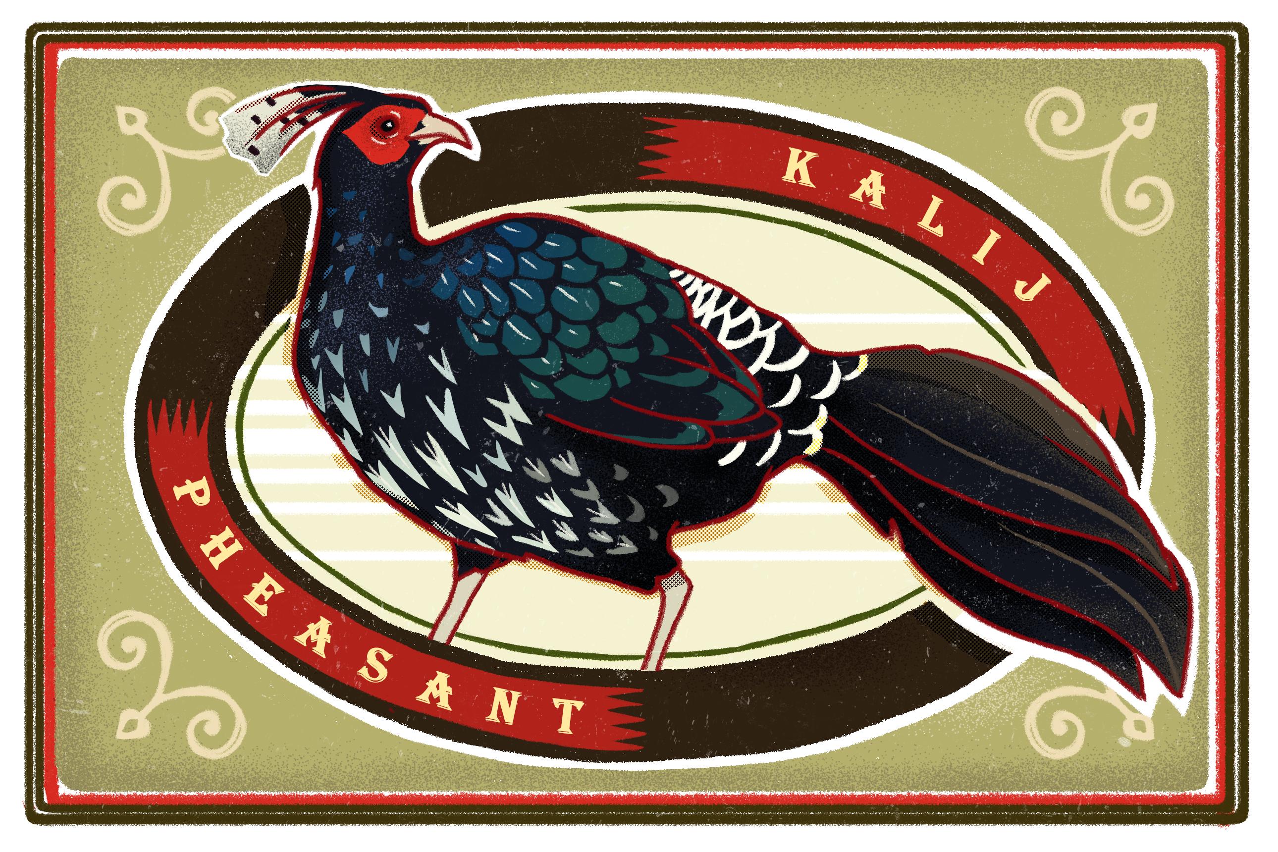 Illustration of a kalij pheasant by Kabini Amin