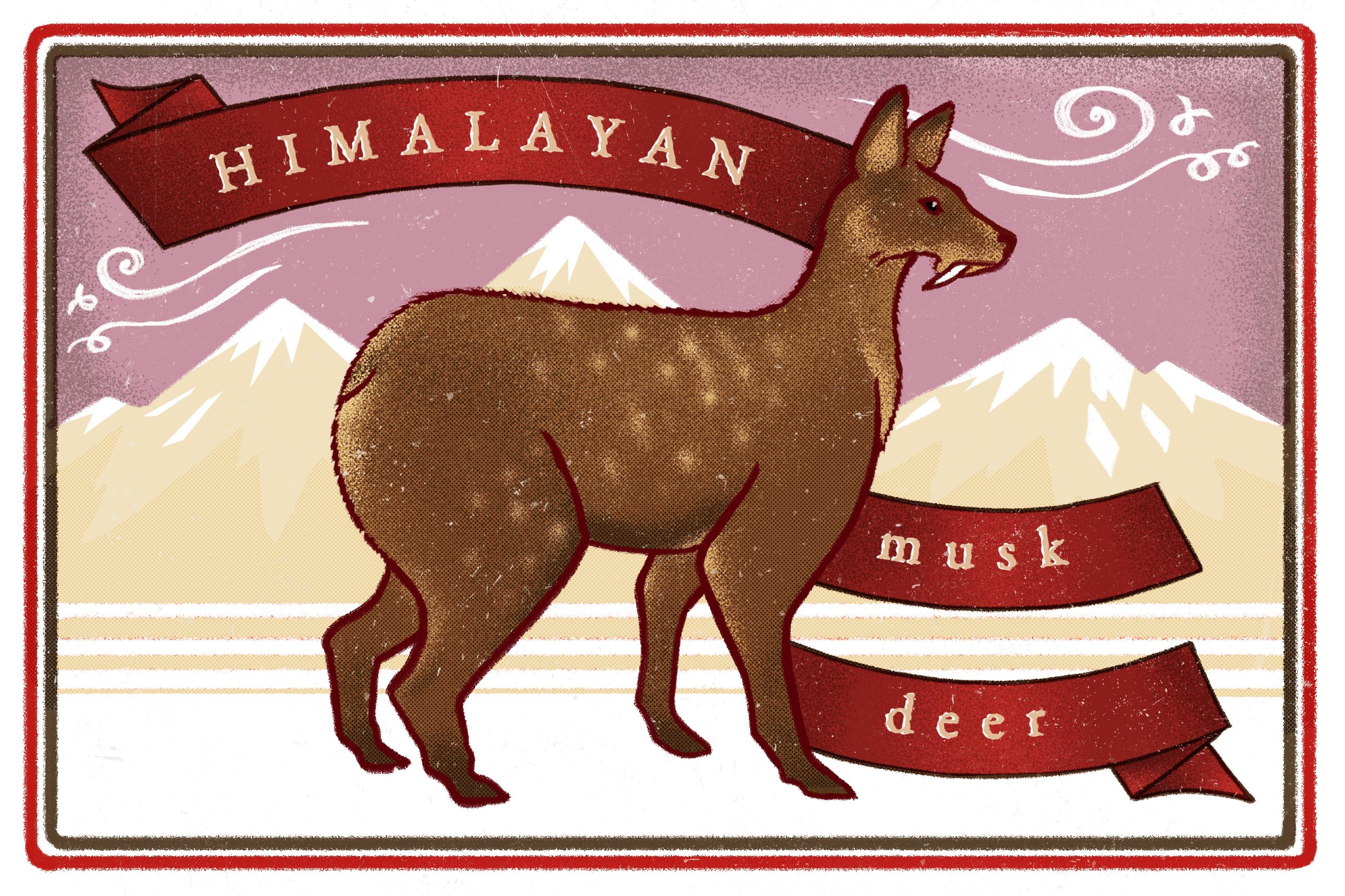 Illustration of Himalayan musk deer by Kabini Amin