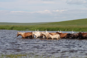 Whooper swans and horses belonging to local farmers at a small lake on the floodplain of the Ulz river in summer 2013. A flood had recently replenished the floodplain's smaller water bodies (Image: Tatiana Tkachuk)