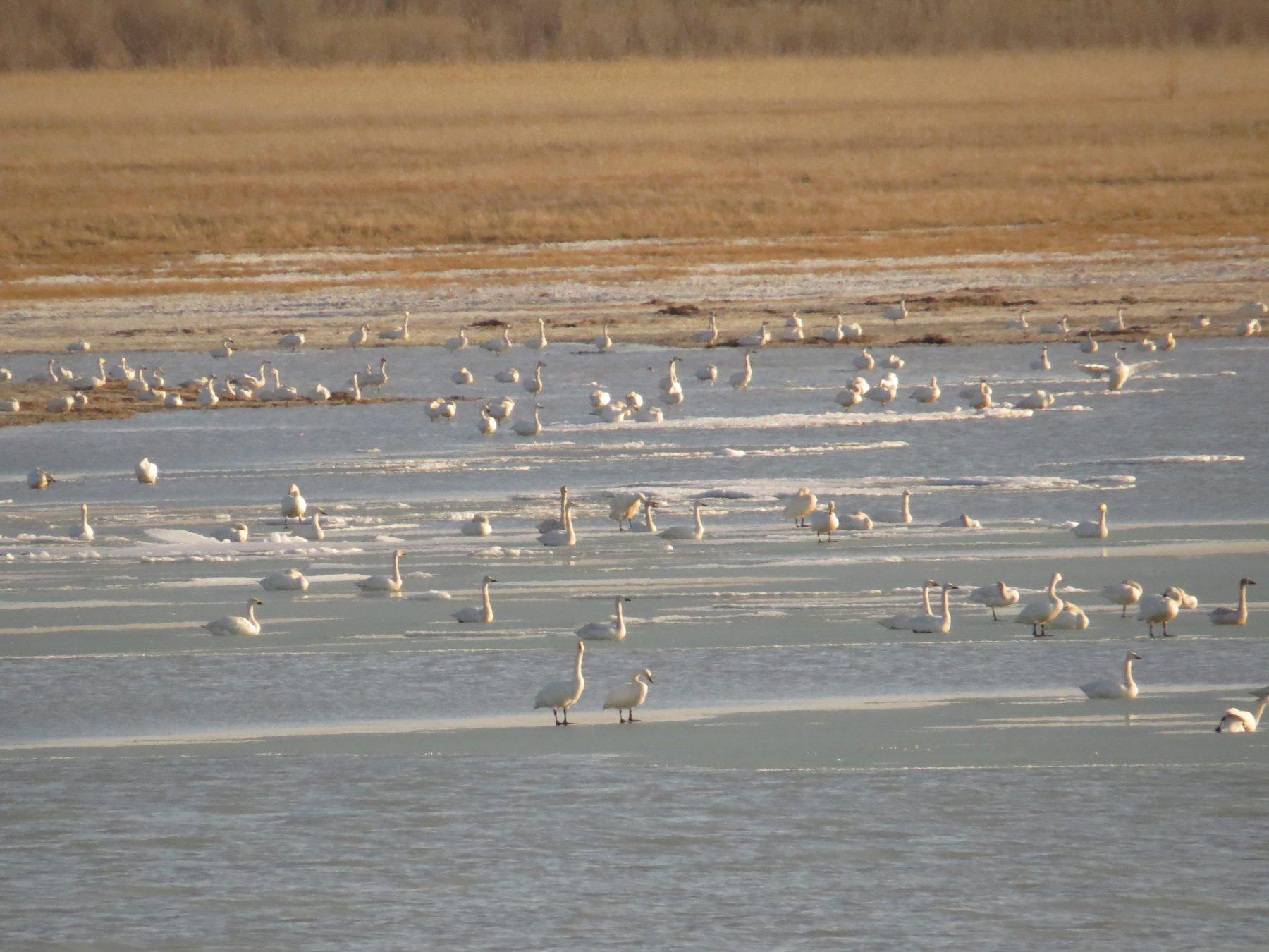 Mongolia Russia Lake Swan Tundra