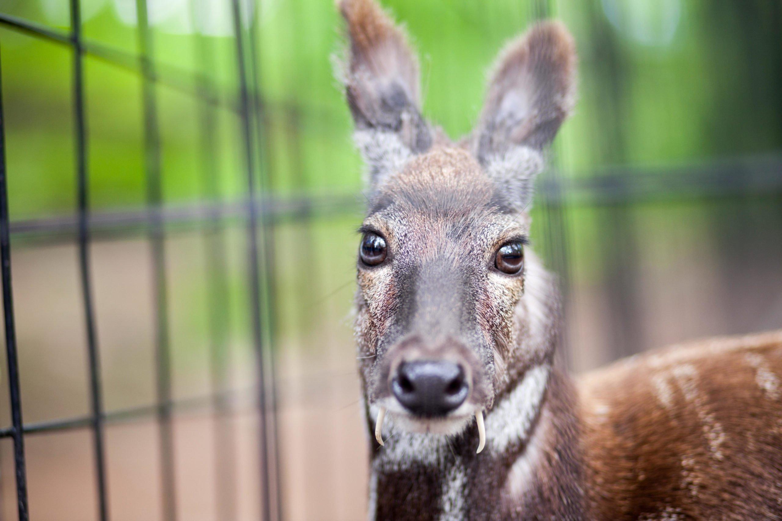 A Siberian musk deer in captivity