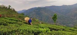 Tea plucker at Makaibari tea estate (image: Gurvinder Singh)