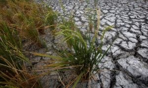 Dried-up rice is seen on a paddy field stricken by drought in Soc Trang province in Mekong Delta in Vietnam March 30, 2016.