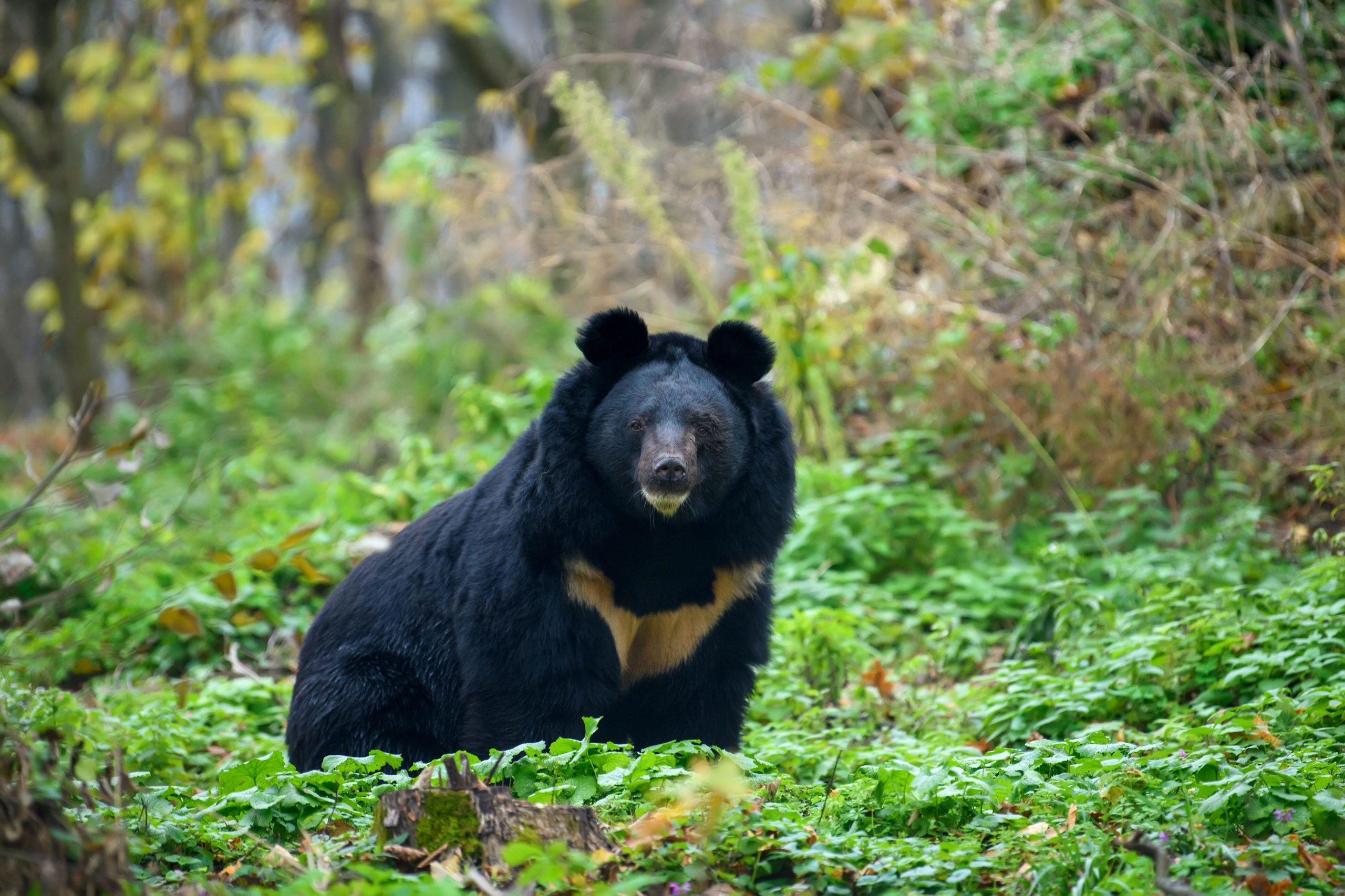 The Asiatic black bear is also known as the 'moon bear'. It depends on forest vegetation for food, making the species vulnerable as climate change alters the altitude at which trees grow. (Image: Volodymyr Burdiak / Alamy)
