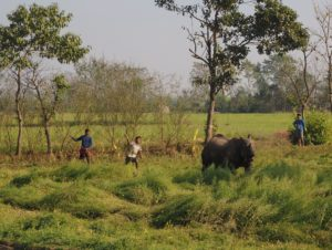 Villagers and park staff try to scare a rhinoceros away from crops in Bachhauli village (Image: Peter Gill)
