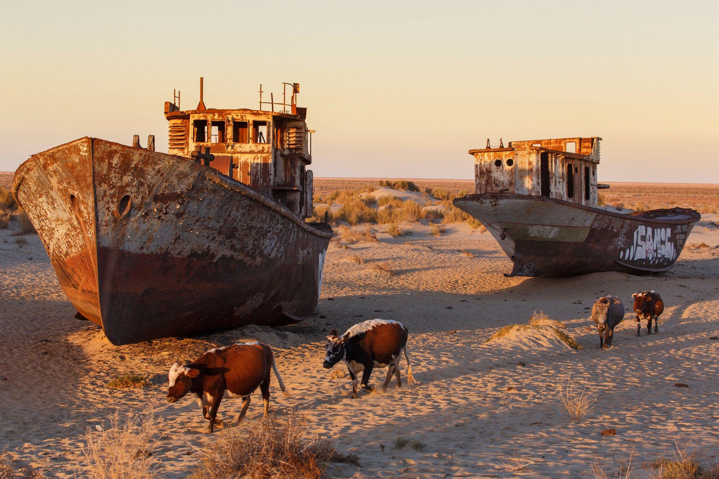 Cows walk through the ship graveyard near the former port of Moynaq on the Aral Sea, Uzbekistan (image: Alamy)