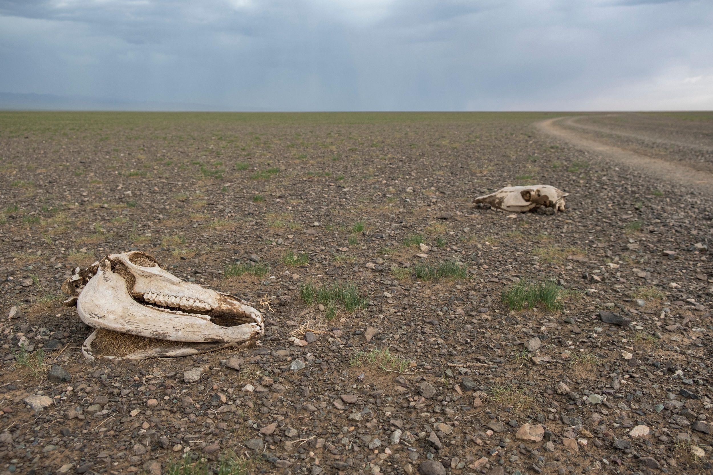 The Central Asian drought has led to the deaths of thousands of domesticated animals (Image: Alamy file picture)
