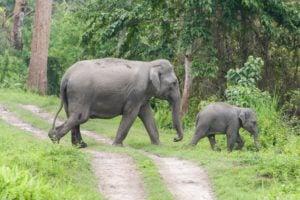 Mother and calf Asian elephants cross park road, Kaziranga National Park, India