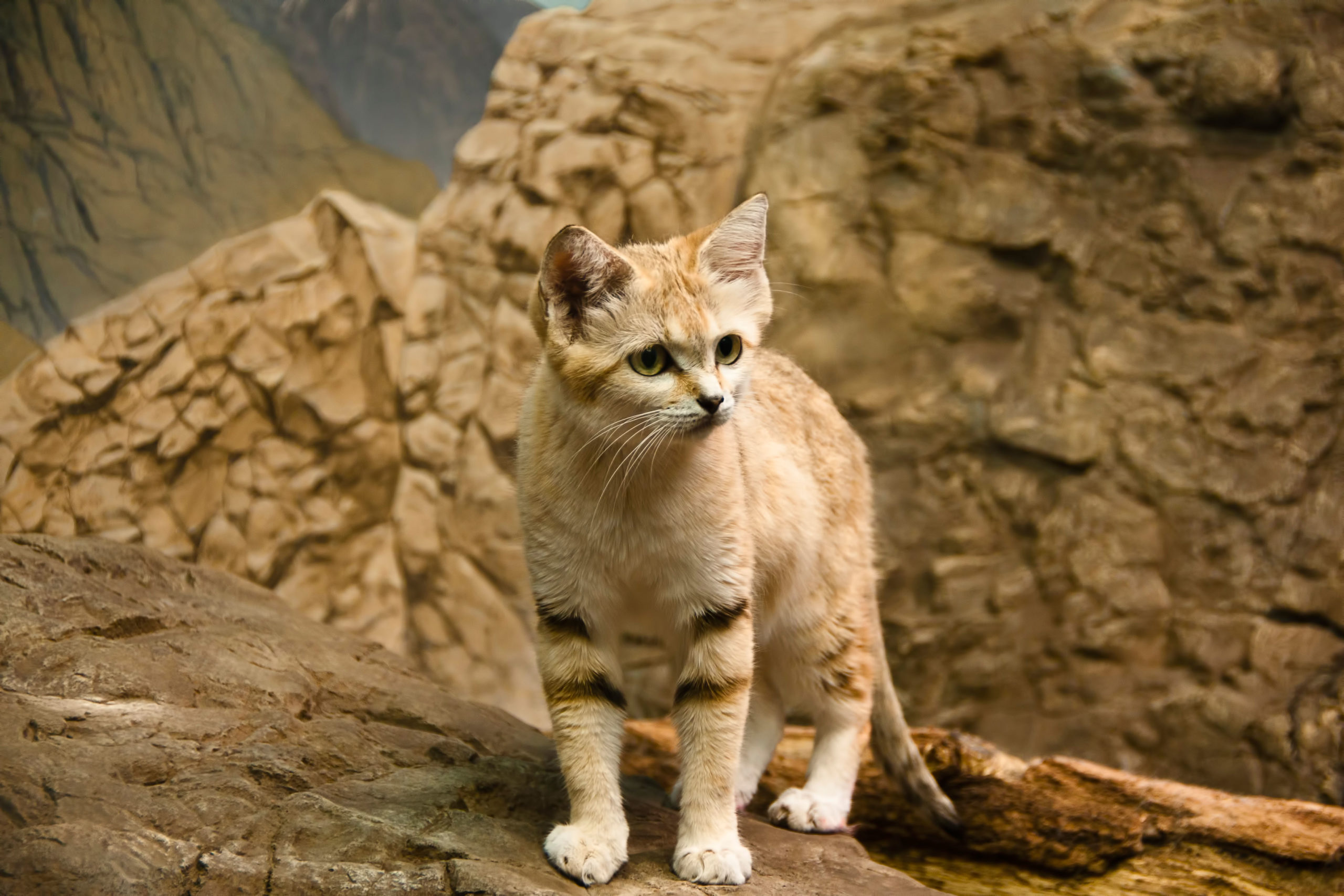 """Sand cat, also referred to as the """"sand dune cat"""", is a small wild cat distributed over African and Asian deserts"""