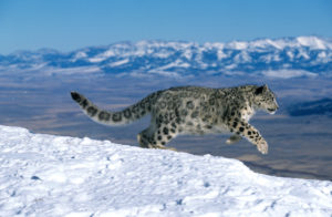Snow leopards in the mountains of Asia face a multitude of threats, including conflict and retaliatory killing, trade in their body parts and climate change (Image: Arco / G. Lacz / Alamy)