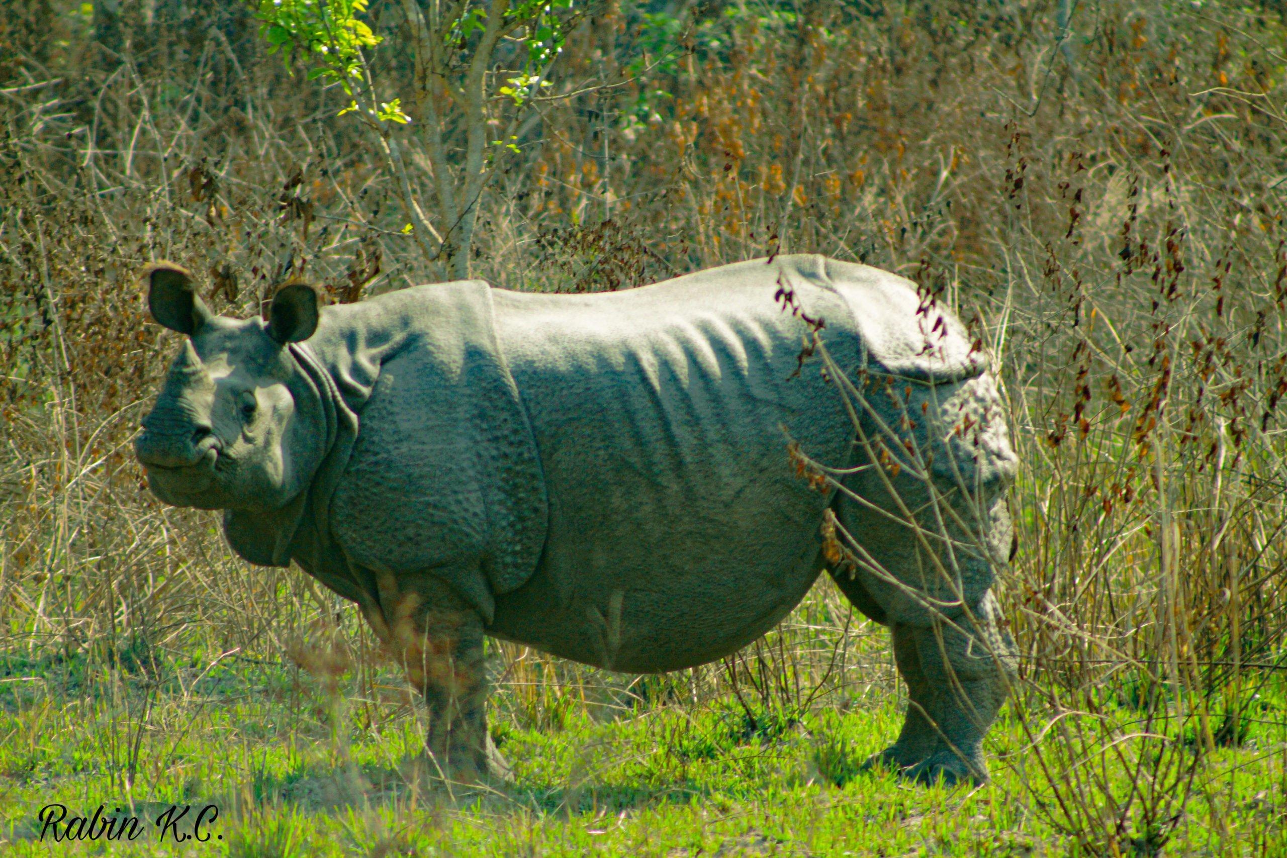 Sibu Pothi, the female rhino who was the author's first sighting during Nepal's 2021 rhino census (Image: Rabin Bahadur K.C.)