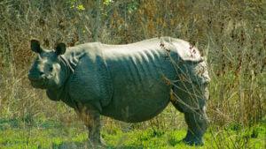 rhino one-horned rhino bardia nepal conservation