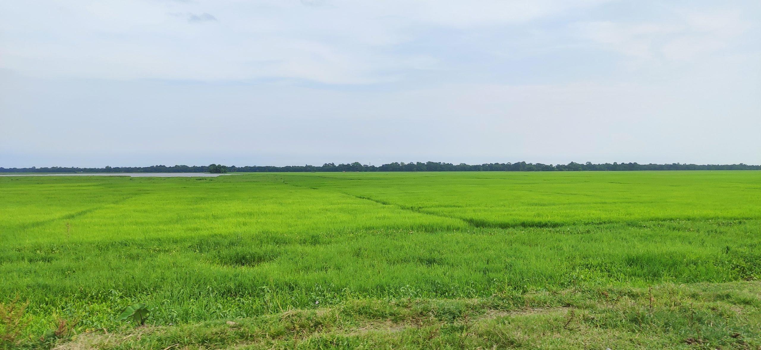 Bao rice paddy, Majuli, Assam, India, Gurvinder Singh
