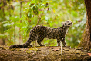 A clouded leopard relocated to Manas National Park, Assam, in an attempt to raise the population of the endangered big cat (image: Alamy)
