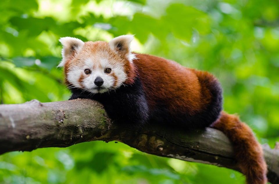 Red Panda Himalayas