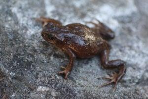 Scutiger ghunsa, a new frog species discovered in eastern Nepal in 2015 using genetic science (Image: Janak Khatiwada)
