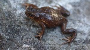Scutiger ghunsa frog Nepal