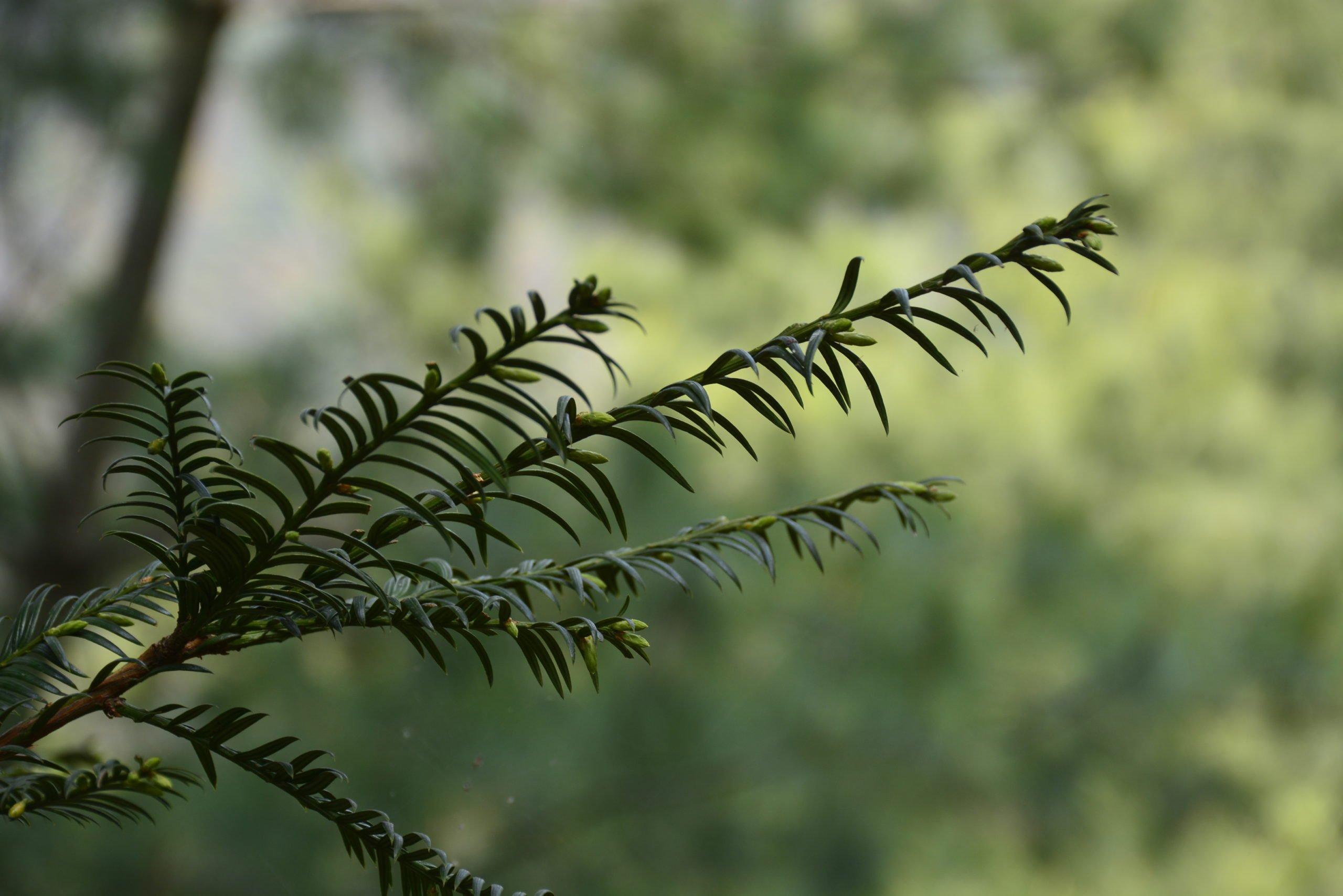 Maire's yew Nepal