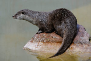 Eurasian otter. The wildlife of northern Thailand, including otters, fish and nesting birds, is facing threats from dams on the Mekong.