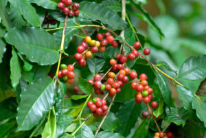 Coffee berries on a coffee plant in Karnataka, India
